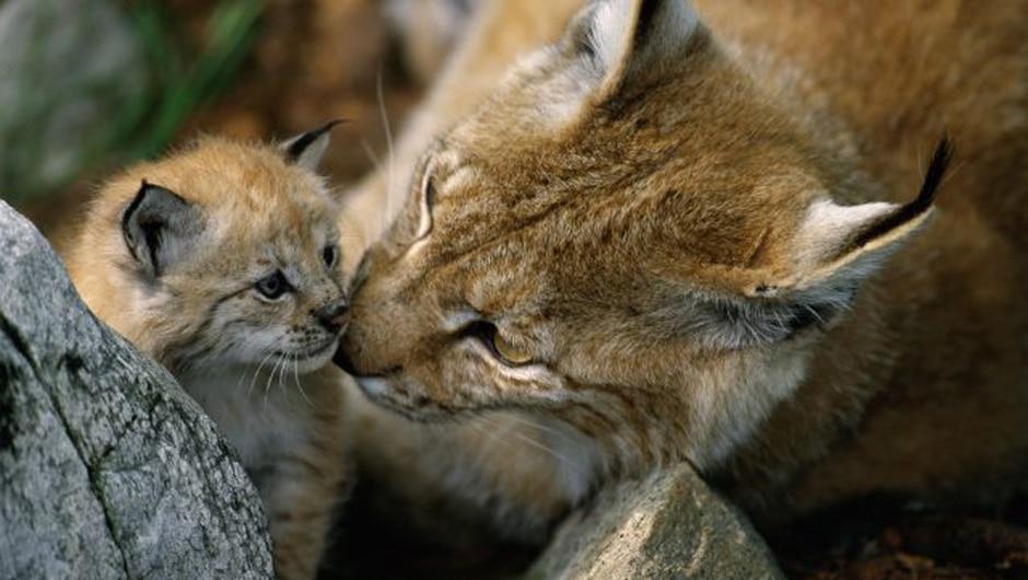 Bedroht vom Flächenfraß eine Luchs-Mutter mit ihrem Jungtier